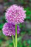 Purple allium onion blooming flower heads