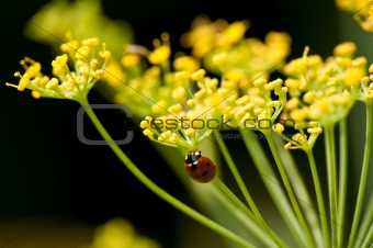 blossom of fennel with a lady beetle