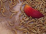 flour worm