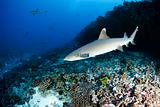 White tip reef shark Triaenodon Obesus