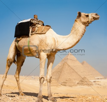Camel Pyramids Giza All Together
