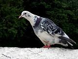Motley white pigeon