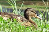 Duck in Grass