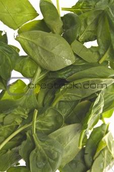 Fresh Baby Spinach Background