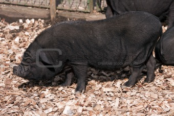 Vietnamese Potbelly Pig