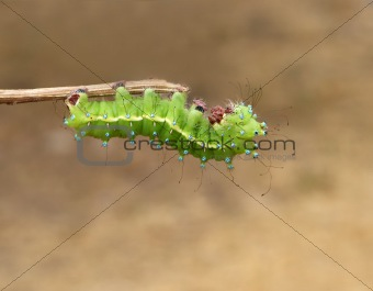 Green caterpillar on wooden stick