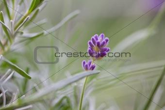 Single purple lavender