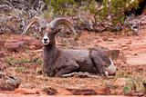Desert Big Horn Ram Sheep