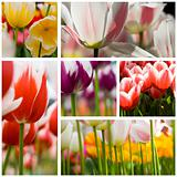 beautiful tulips collage