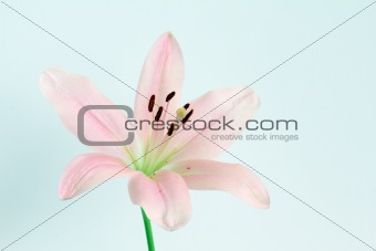 pale pink lilly flower on isolated pale background