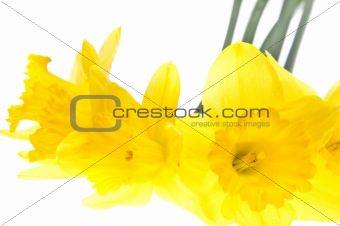 Abstract Daffodil Background