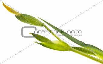 Fresh Budding Flower