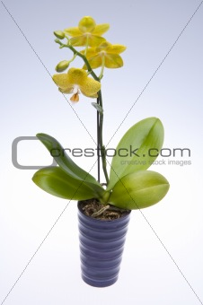 Potted Yellow Orchids