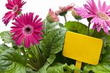 Pink Daisies with Blank Yellow Sign