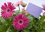 Pink Daisies with Blank Purple Sign