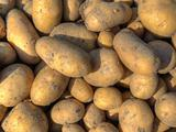 Freshly harvested potatoes