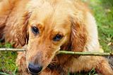 Golden retriever dog portrait with stick