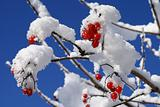 viburnum, mountain ash, snow