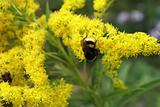 bumble bee, flower,