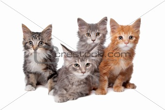 Four maine coon kittens in a row