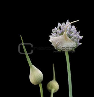 organic herb garlic flowering head and buds