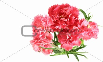 flower posy of pink carnations bouquet with copyspace