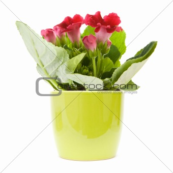 Bright red flowering Sinningia speciosa (Florist's Gloxinia) plant in a light green pot islated on white;