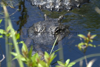 Alligator is Watching You
