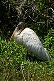 Woodstork (mycteria americana)