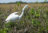 Great White Heron (Ardea herodias)
