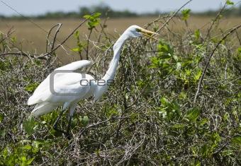 Great White Heron (Ardea herodias)