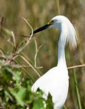 Snowy Egret (egretta thula)