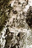 Birch bark texture for background or pattern use