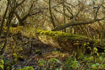 Bright Green Moss (bryophytes) on tree trunks