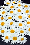 Camomile on dark gray background