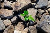 Small plant growing and breaking through field of rocks