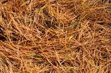 Golden pine needles