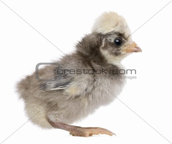 Baby chick standing in front of white background