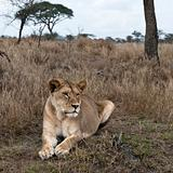 Lioness lying in bush of Serengeti, Tanzania, Africa