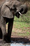 Elephant drinking in Serengeti, Tanzania, Africa
