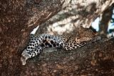Leopard resting in tree, Serengeti, Tanzania, Africa