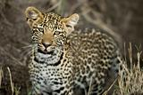 Young leopard in Serengeti, Tanzania, Africa