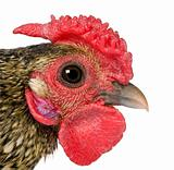 Close-up of Golden Sebright rooster, 1 year old, in front of white background