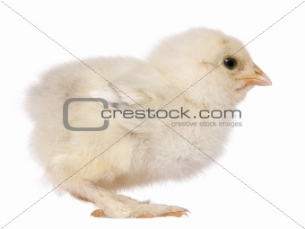 Brahama chick, 15 days old, standing in front of white background