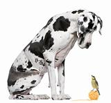 Great Dane Harlequin sitting in front of white background looking at a Blue Tit bird