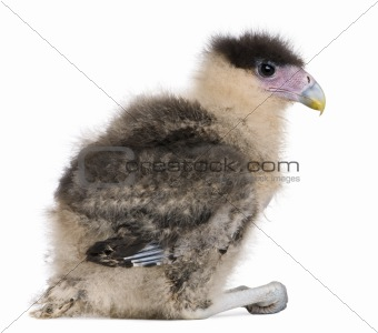 Caracaras, 20 days old, caracara plancus, in front of white background