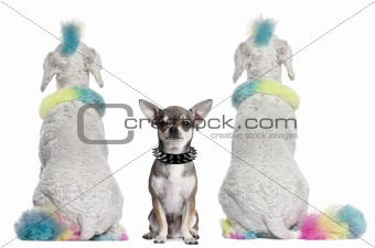 Rear view of colored poodles with mohawks and Chihuahua with piercings sitting in front of white background