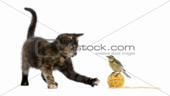 Tortoiseshell kitten playing with a blue tit standing on a ball of yellow wool yarn in front of white background