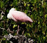 Roseate Spoonbil