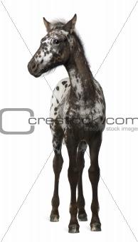 Crossbreed Foal